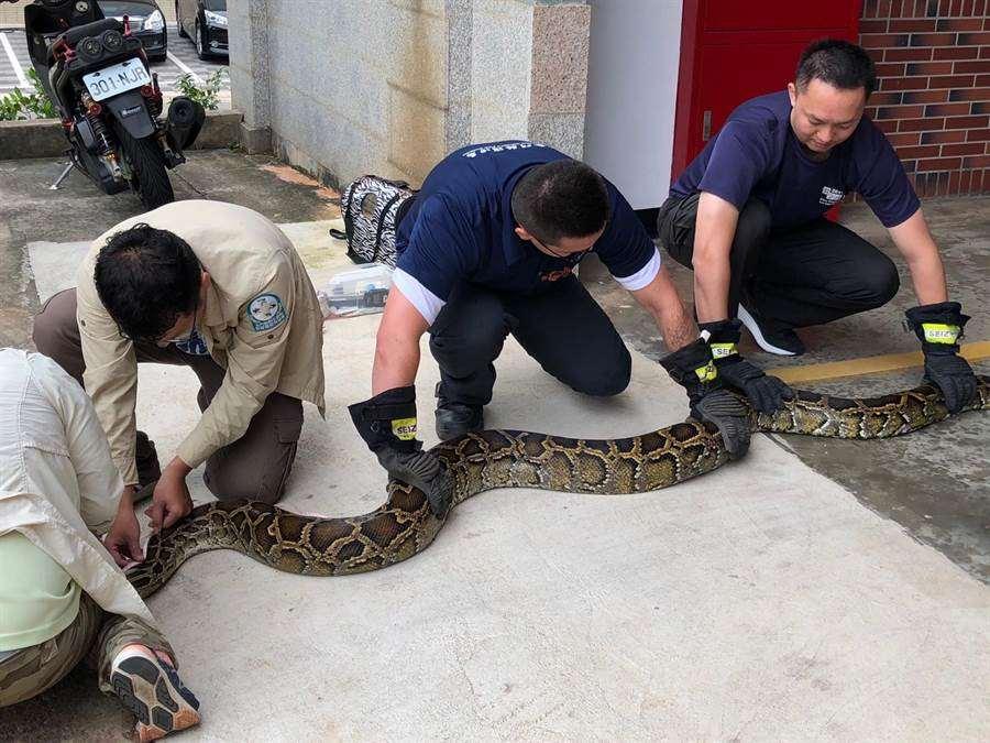緬甸蟒是大型蛇類,出沒常造成民眾恐慌。(照片/王鈺明提供)