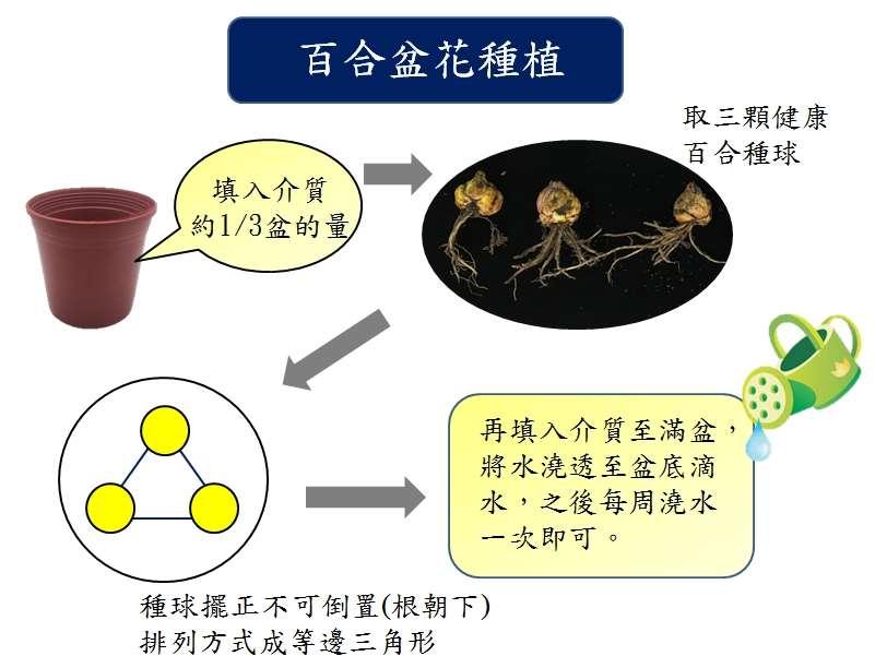 百合花種植步驟